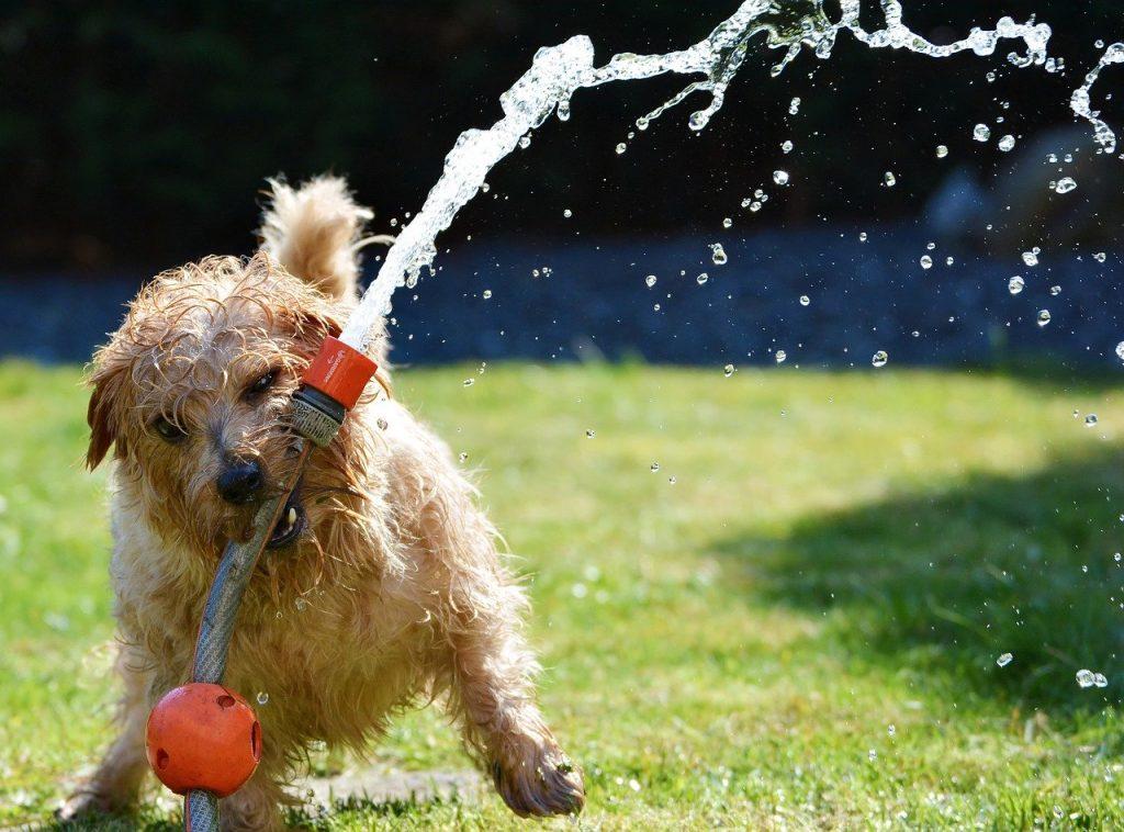 chien arrosage pelouse