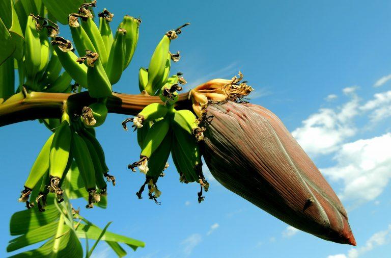 faire pousser un bananier